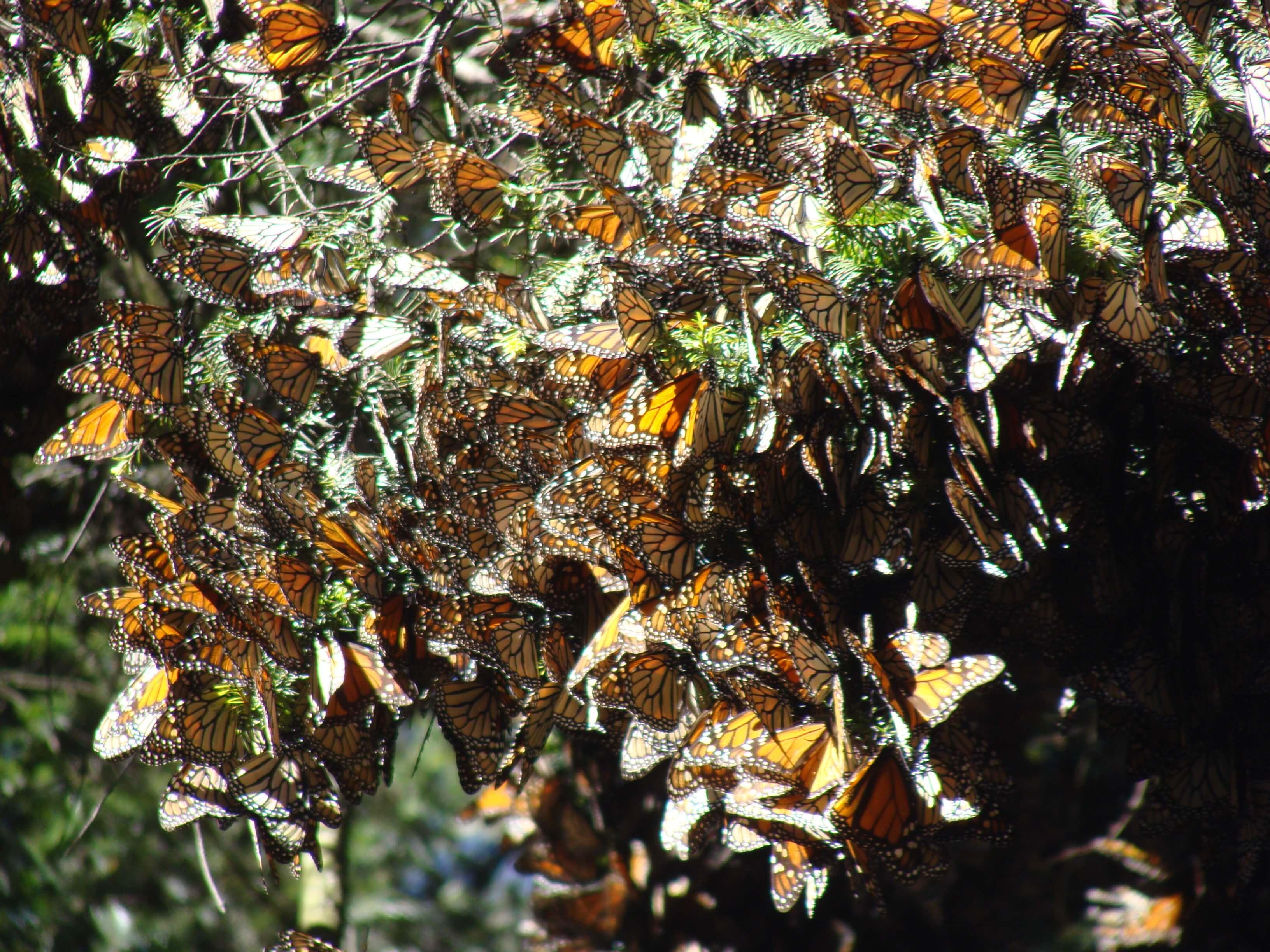 Fot. 8. Od listopada do lutego gałęzie drzew uginają się pod ciężarem motyli Mariposa Monarcha. Ocenia się, że w rezerwatach znajdować się może do 1 mld osobników.