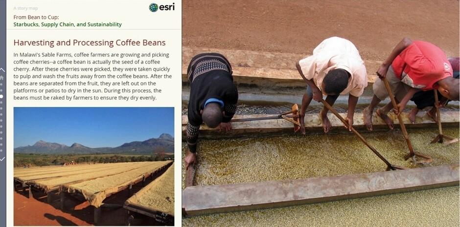 Rys. 2. Lepszą metodą zbioru kawy wciąż pozostaje praca ręczna, zapewniająca pozyskanie owoców o odpowiednim poziomie dojrzałości (źródło: Esri Inc.).