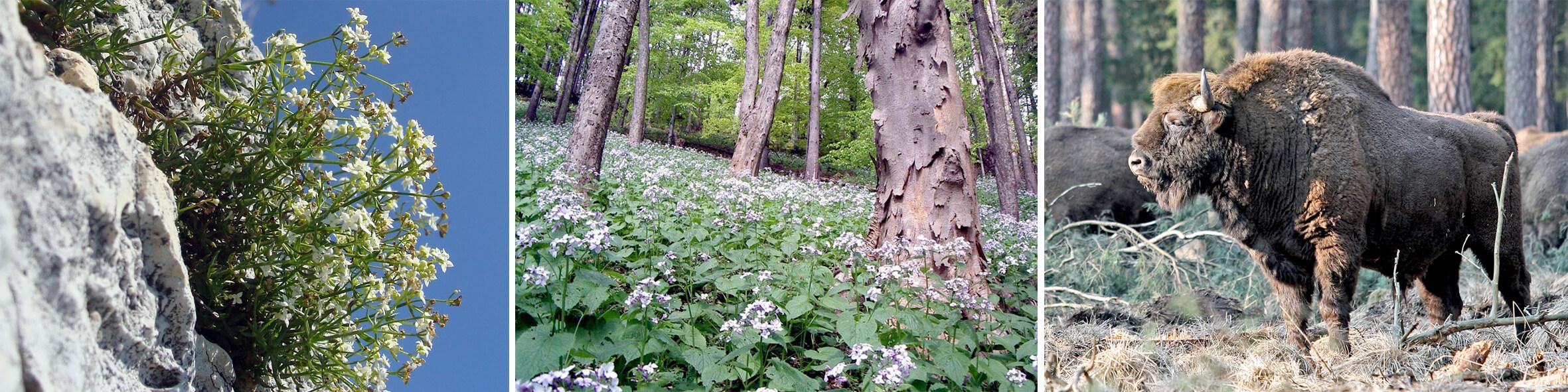 Rys.3. Różnorodność biologiczna województwa śląskiego (przykłady): a) Przytulia krakowska Galium cracoviense, gatunek endemiczny, ściśle chroniony, b) Jaworzyna górska z miesięcznicą trwałą Lunario-Aceretum, siedlisko narażone w województwie śląskim, c) Żubr Bison bonasus (byk), takson objęty ochroną ścisłą