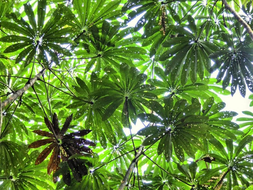 Liście pionierskiego gatunku drzewa cekropia pojawiającego się na miejscach wylesień i nowych wysepek.