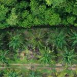 Olej palmowy pod kontrolą GIS